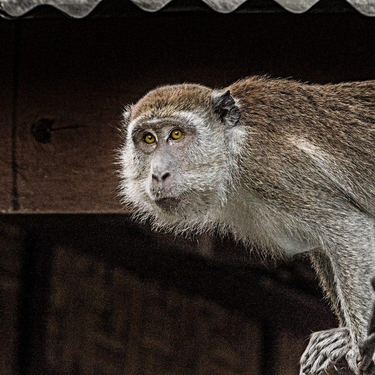 Affen auf Sumatra