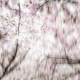 Kirschblütenallee00001