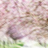 Kirschblütenallee00003