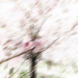 Kirschblütenallee00006